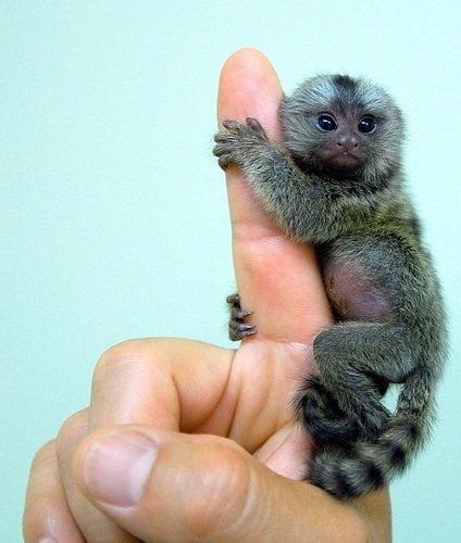 marmosetbaby